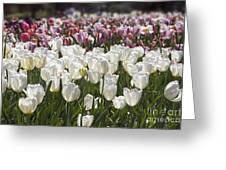 Tulips At Dallas Arboretum V52 Greeting Card