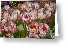 Tulips At Dallas Arboretum V53 Greeting Card