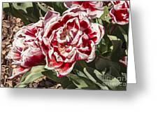 Tulips At Dallas Arboretum V55 Greeting Card