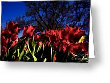 Tulips At Dallas Arboretum V63 Greeting Card