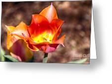 Tulips At Dallas Arboretum V64 Greeting Card