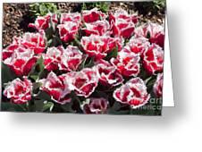 Tulips At Dallas Arboretum V70 Greeting Card
