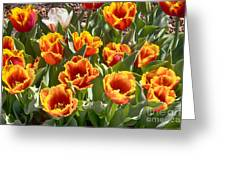 Tulips At Dallas Arboretum V71 Greeting Card