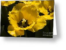 Tulips At Dallas Arboretum V76 Greeting Card