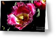 Tulips At Dallas Arboretum V77 Greeting Card