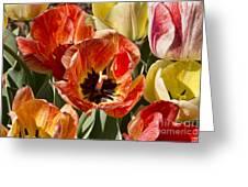 Tulips At Dallas Arboretum V81 Greeting Card