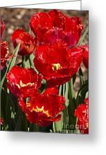 Tulips At Dallas Arboretum V83 Greeting Card