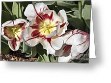 Tulips At Dallas Arboretum V91 Greeting Card