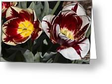 Tulips At Dallas Arboretum V92 Greeting Card