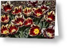 Tulips At Dallas Arboretum V93 Greeting Card