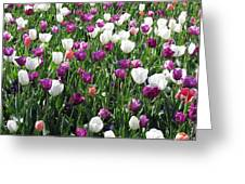 Tulips - Field With Love 60 Greeting Card