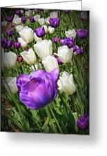 Tulips In Purple And White Greeting Card