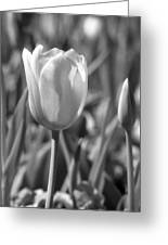 Tulips - Infrared 27 Greeting Card