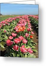 Tulips Mt Hood Greeting Card