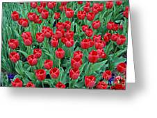 Tulips Tulips And Tulips Greeting Card