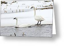 Tundra Swans Greeting Card