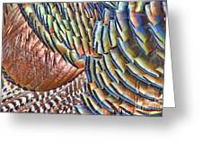 Turkey Feather Colors Greeting Card