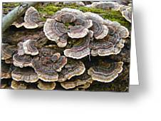 Turkey Tail Bracket Fungi -  Trametes Versicolor Greeting Card