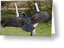 Turkey Vulture Cathartes Aura Greeting Card