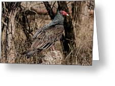 Turkey Vulture Portrait Greeting Card