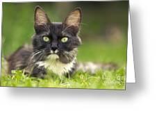 Turkish Angora Cat Greeting Card