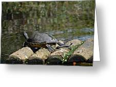 Turtle On A Raft Greeting Card