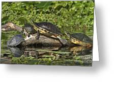Turtles Sunning Greeting Card