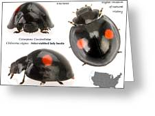 Twice-stabbed Lady Beetle Greeting Card