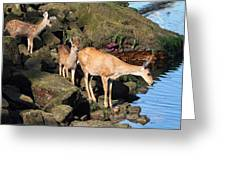 Twin Fawns And Mother Deer On The Shore Greeting Card