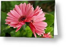 Twin Gerber Daisies Greeting Card