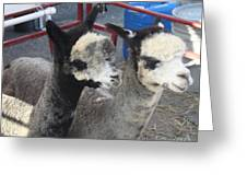 Two Alpacas Greeting Card