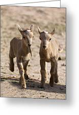 Two Aoudad Babies Playing Greeting Card