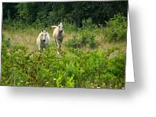 Two Appaloosa Horses  Greeting Card