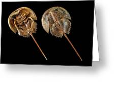 Two Atlantic Horseshoe Crabs Greeting Card