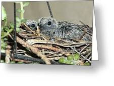 Two Baby Mourning Doves Greeting Card