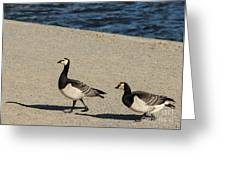 Two Barnacle Geese Greeting Card