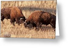 Two Bull Bison Facing Off In Yellowstone National Park Greeting Card