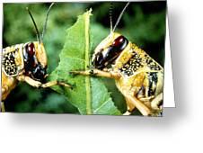 Two Desert Locusts Eating Greeting Card