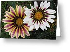 Two Gazanias Greeting Card