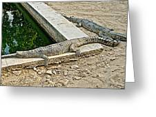 Two Gharial Crocodiles In Gharial Conservation Breeding Center In Chitwan Np-nepal   Greeting Card