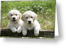 Two Golden Retriever Puppies Greeting Card