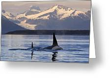 Two Killer Whales Surface In Lynn Canal Greeting Card