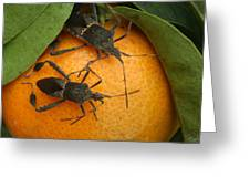 Two Leaf Footed Bugs On An Orange Greeting Card