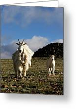 Two Mountain Goats Oreamnos Americanus Greeting Card