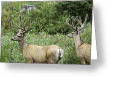 Two Mule Deer Bucks Greeting Card