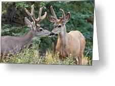 Two Mule Deer Bucks With Velvet Antlers Interact Greeting Card