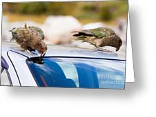 Two Nz Alpine Parrot Kea Trying To Vandalize A Car Greeting Card