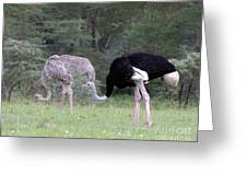 Two Ostriches Greeting Card