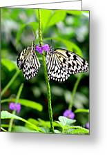 Two Paper Kite Or Rice Paper Or Large Tree Nymph Butterfly Also Known As Idea Leuconoe Greeting Card