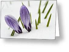 Two Purple Crocuses In Spring With Snow Greeting Card by Matthias Hauser